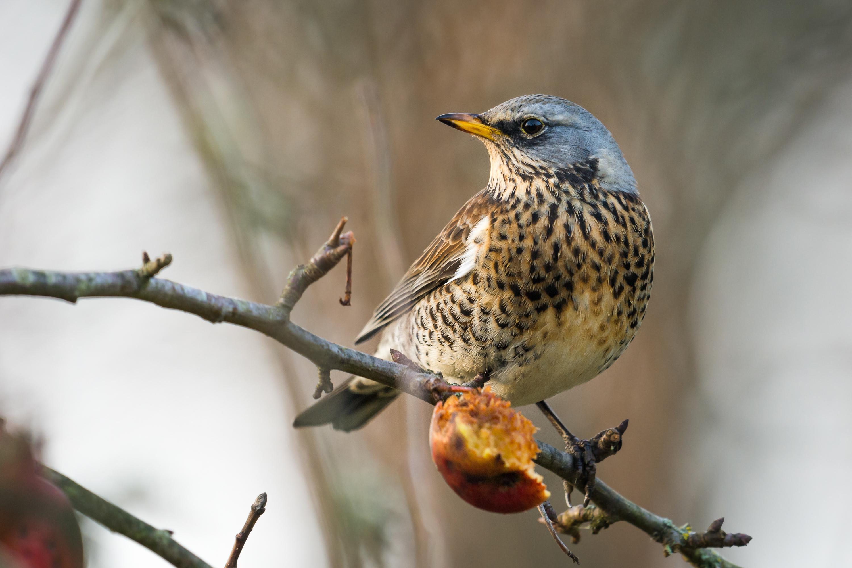 Jedná se o skupinu převážně velkých vodních ptáků s charakteristickou.
